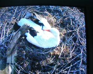 nid- cigogne dans le nid 2  réduit
